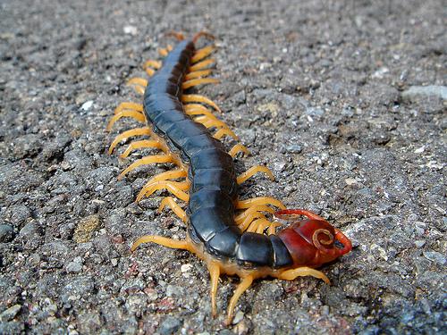 R Centipedes Poisonous Japanese centipede