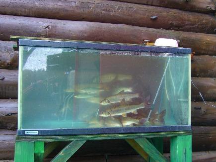 Fish soon to be sashimi, outside Marukibune restaurant at lake Kussharo, Hokkaido