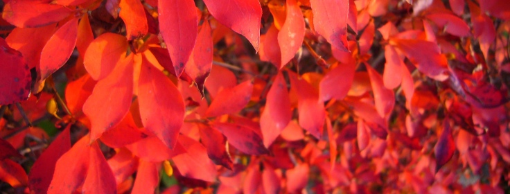 Red leaves in Takayama