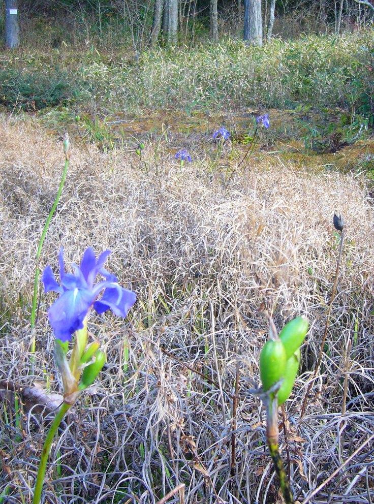 Iris blooming in November in Toyota City, Japan
