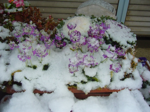 Snow covered flowers in Toyota City, Japan