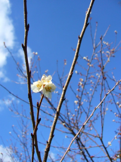 First pring blossom in Toyota City, Japan