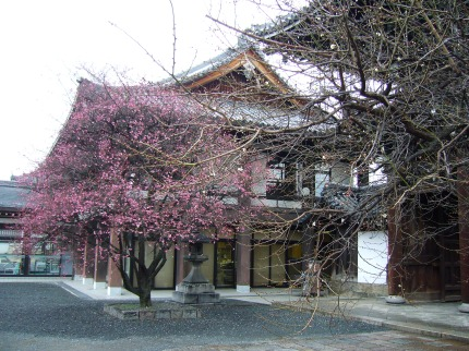 Ume or plum blossoms at a temple in Kyoto