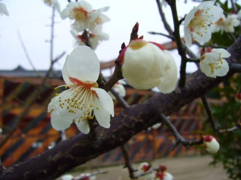 Ume or plum blossom with industrial background