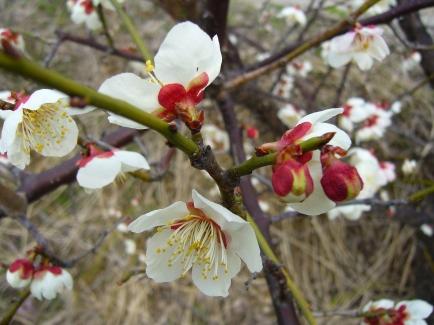 Plum blossom white