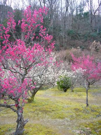 Plum blossom grove