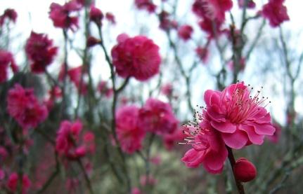 Plum blossom bright pink