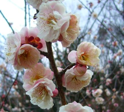 Plum blossom soft pink