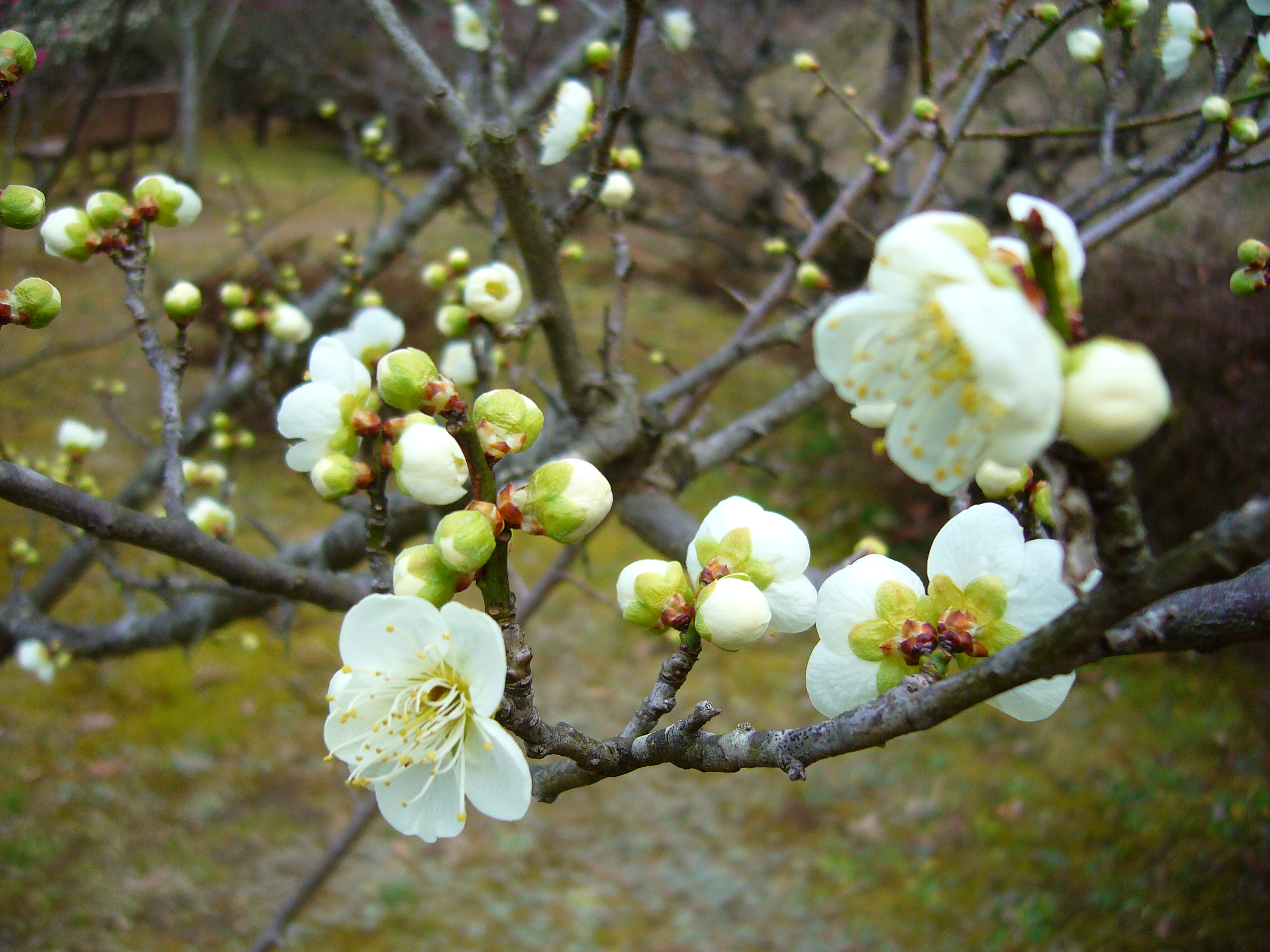 Spring is in the air the japans plum blossom white mightylinksfo Choice Image