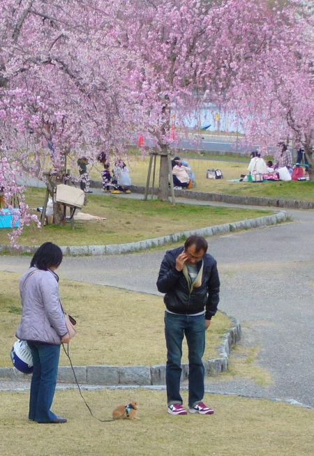 rabbit on a leash and cherry blossoms in Japan