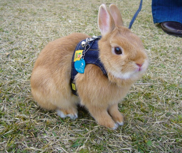 bunny on a leash profile, Japan