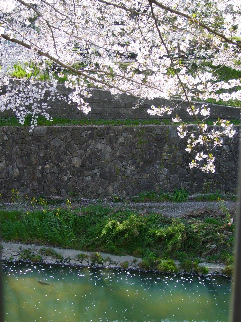 Sakura and fish, Nagoya, Japan