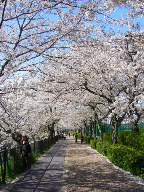 Cherry walk in Nagoya, Japan