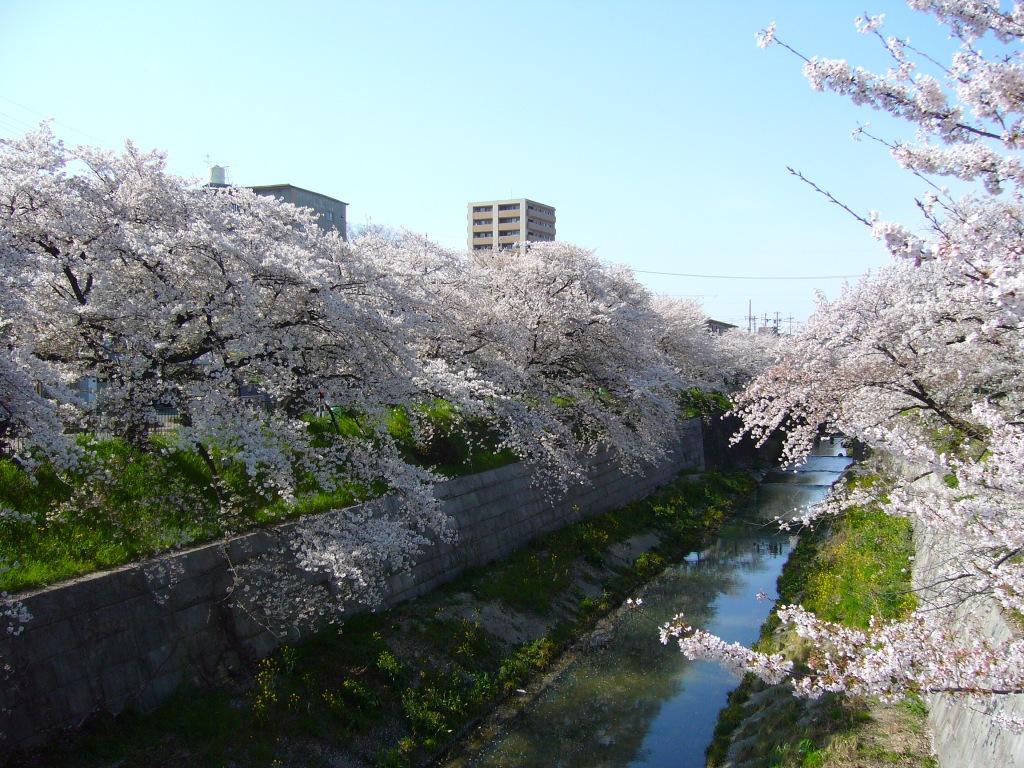 Sakura Yamazakigawa riverside, Nagoya, Japan