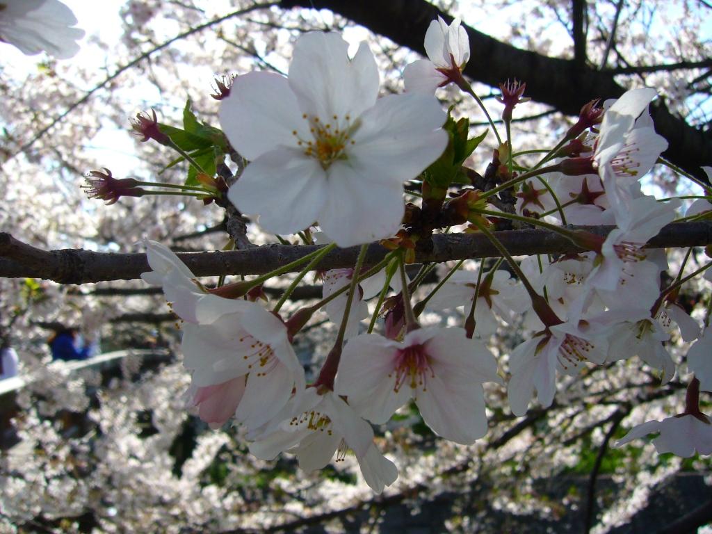 Sakura detail