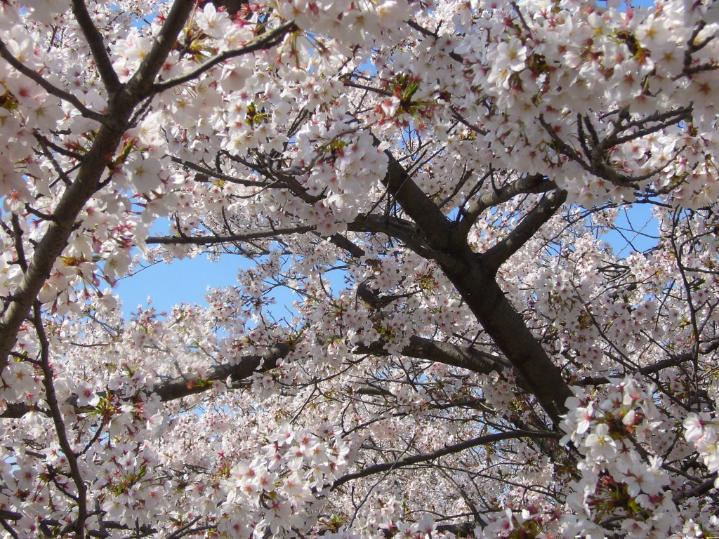 Sakura detail beauty, Nagoya, Japan