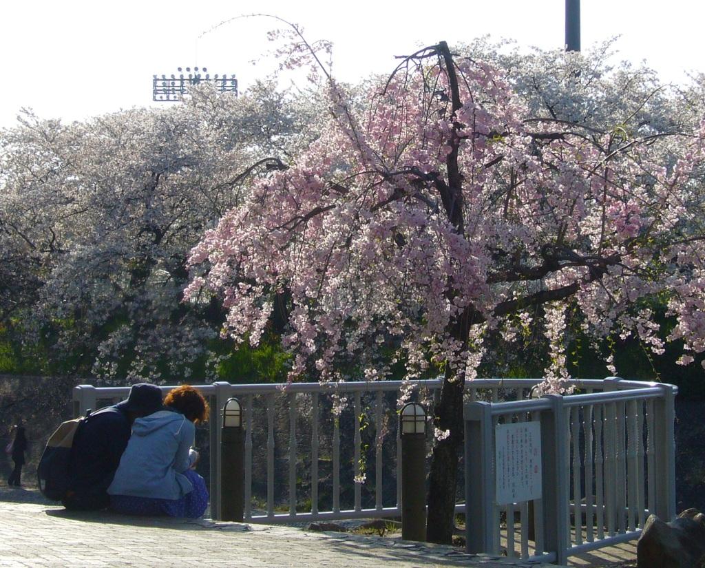 Sakura rabu rabu, Nagoya, Japan