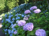 june seki city hydrangea festival