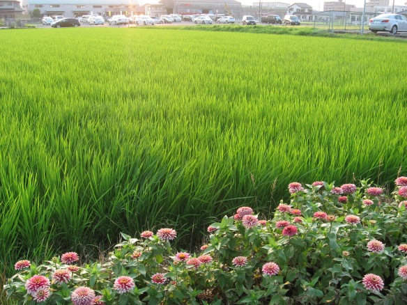 evening light over the rice fields
