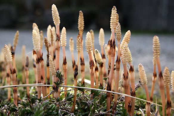Equisetum arvense - the field horsetail  - tsukushi